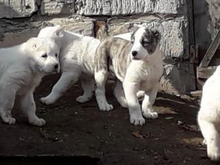 Щенки среднеазиатской овчарки возраст 2 месяца. Происходят по чемпионской линии.
