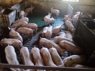 Поросята зі свинокомплексу великими партіями