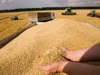 Куплю кукурузу, пшеницу всех классов, ячмень, рожь, овес. Зерноотходы.