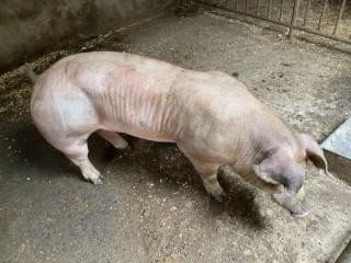Племенные хряки со свинокомплекса
