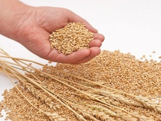 Пшениця, кукурудза, соя, соняшник. Закупівля.