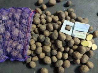 Картопля насіннєва. Картопля товарна.