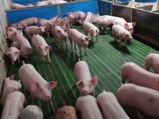 Свинокомплекс пропонує купити поросят оптом