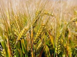 Зерновые отходы. Масличные, бобовые зерноотходы